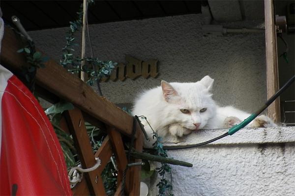 長毛白猫ライ君