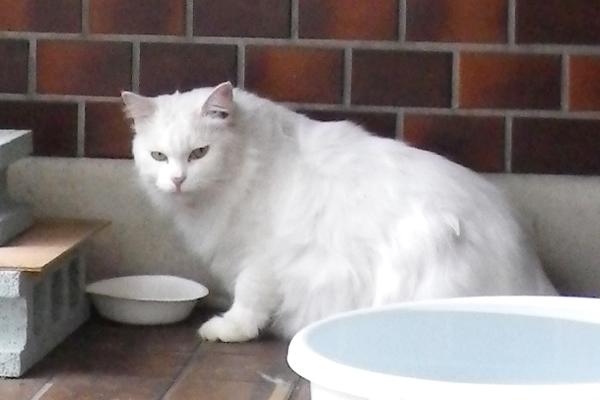 長毛白猫3兄弟プリ
