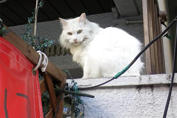 長毛白猫3兄弟ライ君睨む