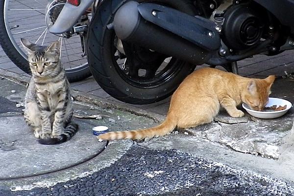 居酒屋兄弟猫きじとらと茶トラ