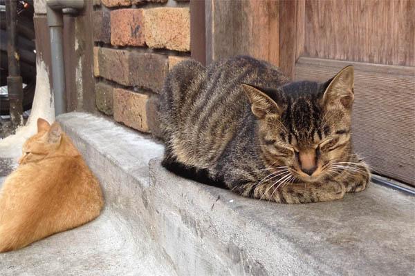 居酒屋猫キジトラちゃんのお昼寝