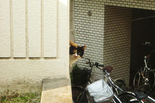 覗く三毛猫さん