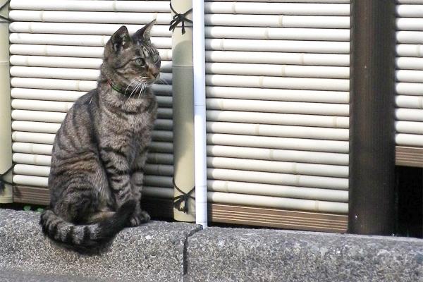 お寺猫キジトラ前