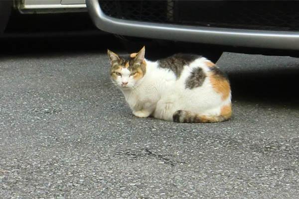 三毛猫タマちゃん1