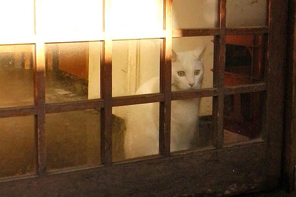 居酒屋の白猫