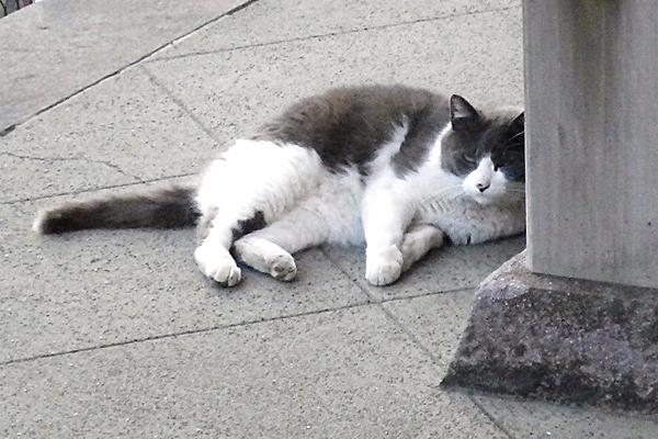 神社猫ハチワレリン