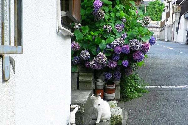 テンちゃんと紫陽花