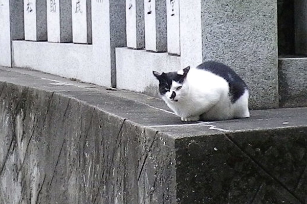 神社猫ハチワレムーン