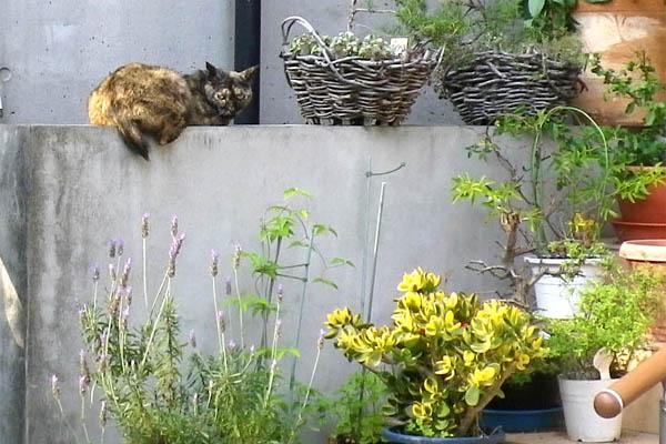 もうひとりのサビ猫さん