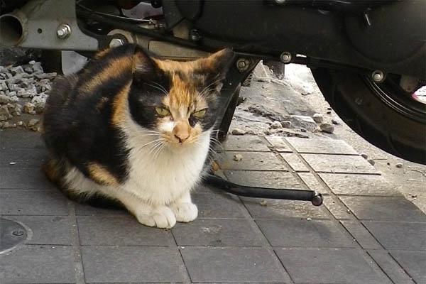 美猫の三毛ちゃん