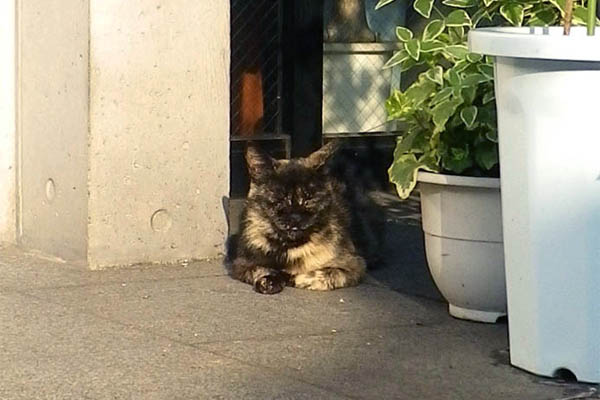 西日を受けての警備サビ猫