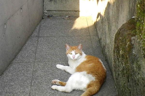 茶白の美猫ちゃんかわいい