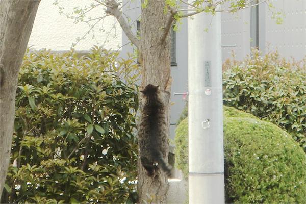 木登りキジトラ君2