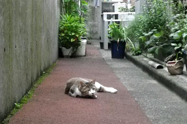 私道に転がる猫