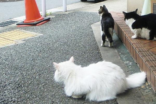 白猫とキジ白とハチワレ後ろ姿