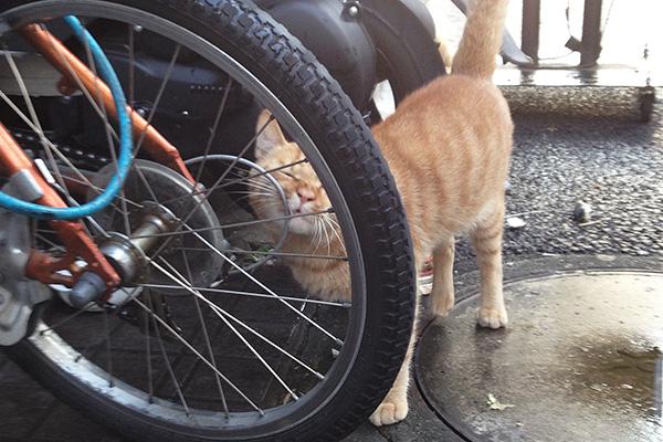 自転車で顔を掻く茶トラ