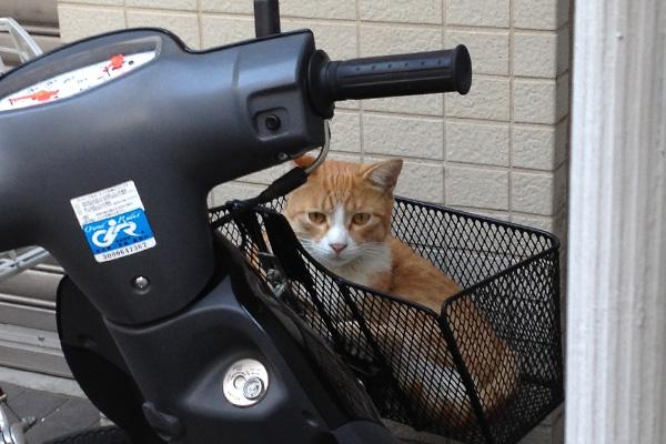 茶白カゴの猫