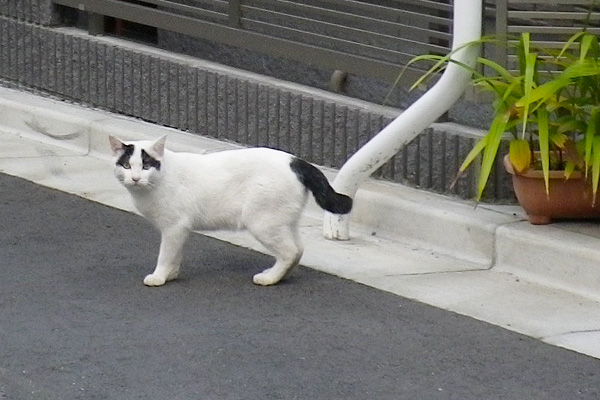 神社猫ヤコ路上で出会う