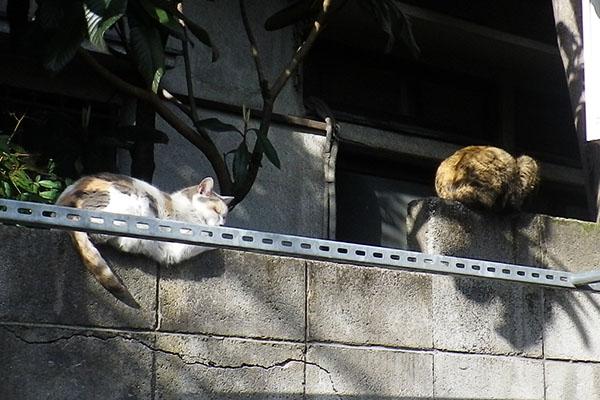 ミケ姐とサビーヌ塀の上