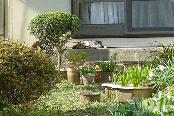公園猫縁側堪能中1