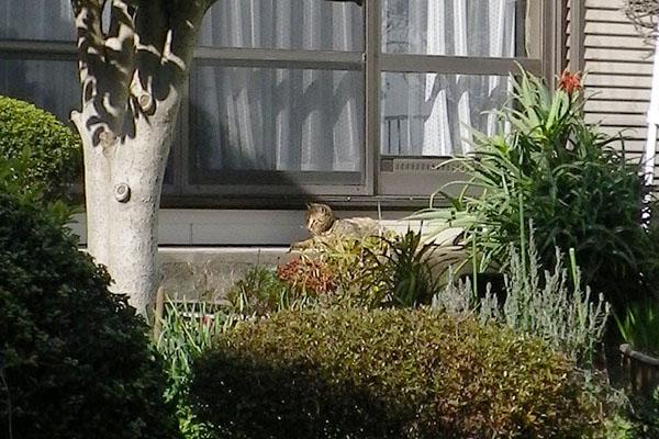 公園猫縁側堪能中きじ1