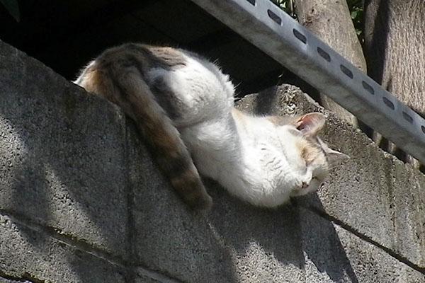 眠いミケ姐塀の上