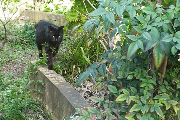お散歩好きな黒猫君