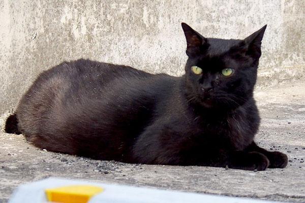 美猫のくーちゃん