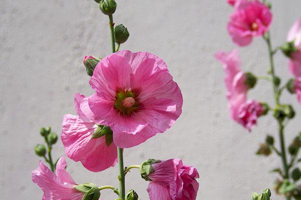 shirokane_flower
