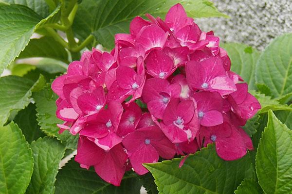 雨が残る紫陽花