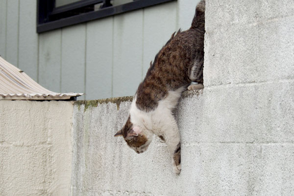 塀から降りてくるドンちゃん