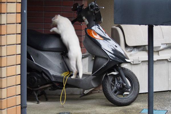 バイクにジャーーンプ白猫君