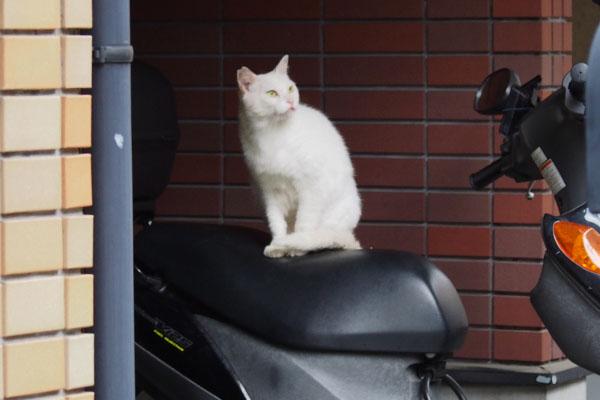 茶トラを見る白猫君