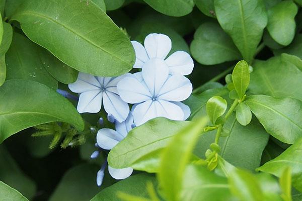 ペールブルーな小さい花
