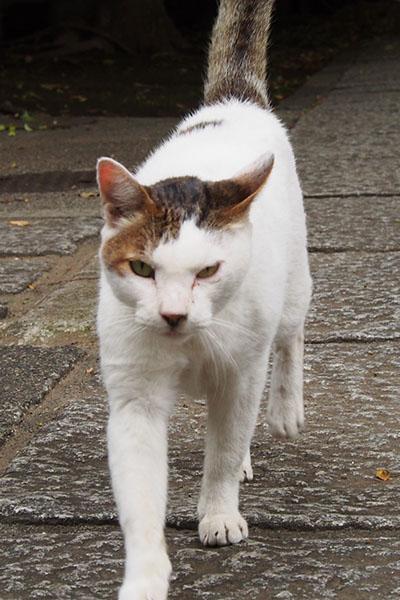 ほぼ白いキジ白のオス猫さん