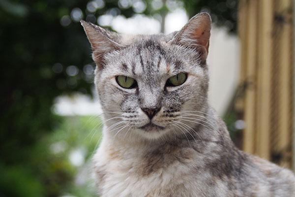 美猫な銀ちゃん