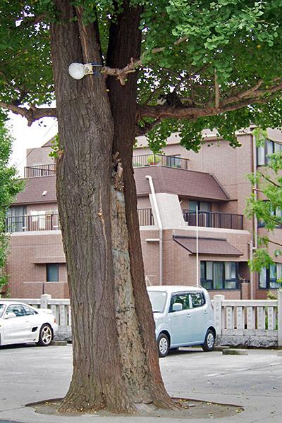雫木の高さ