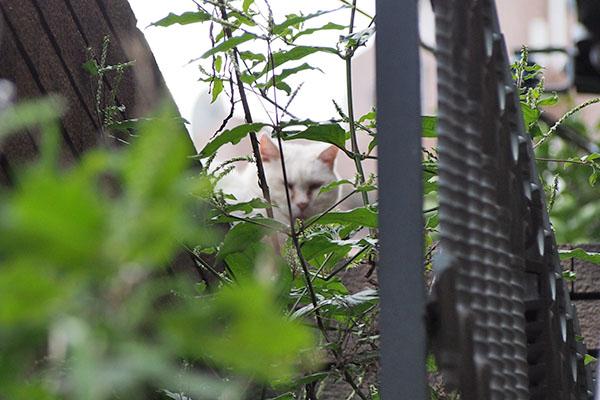 うすぼんやりな写りの白猫さん