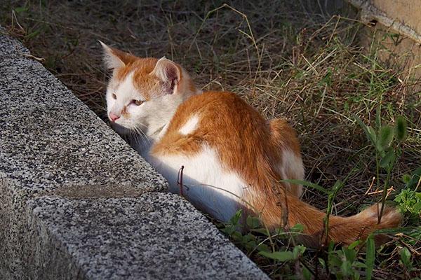顔出した茶白仔猫