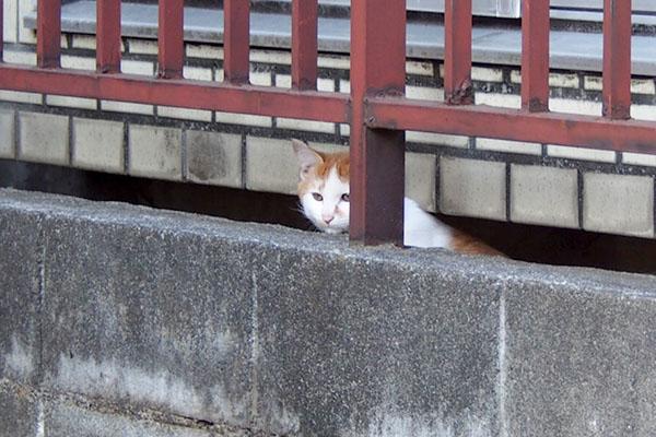 塀の向こうに茶白仔猫