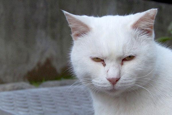 眉間にしわを寄せる猫ハク