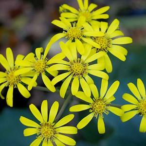 yellows flower