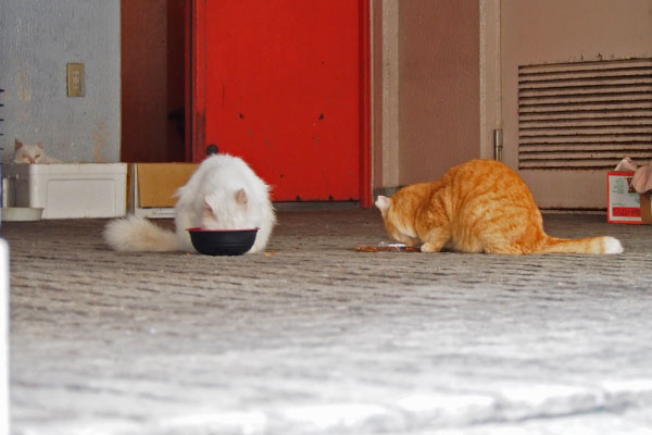 two cats eating food
