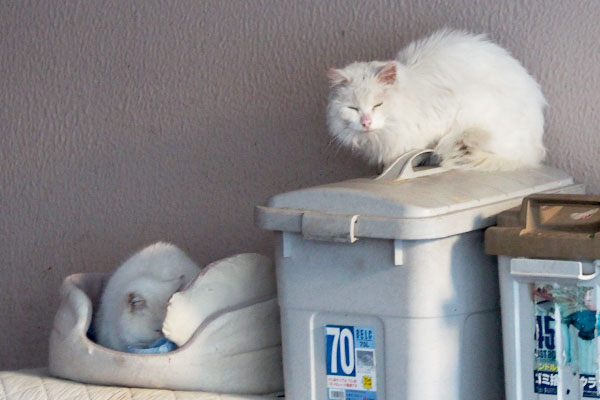 背後に2白猫
