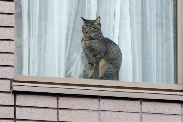 窓辺の猫キジトラさんアップ