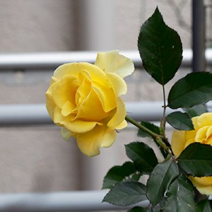 yellowroses flower