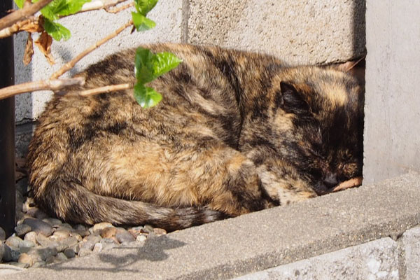 サビチッチは花壇で熟睡