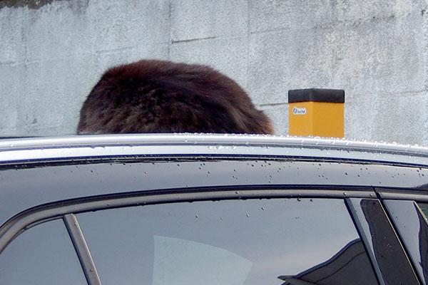 雨上がりの車の上でモフキジ君