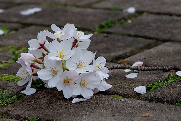 fall sakura branch