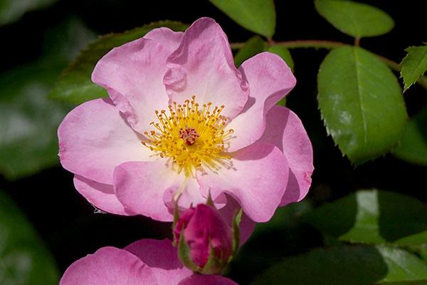 rose_ballerina